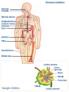 sistema_linfatico1