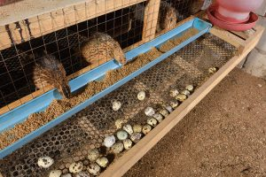 5 Things You Need to Know About Raising Quails in Your Apartment or Home