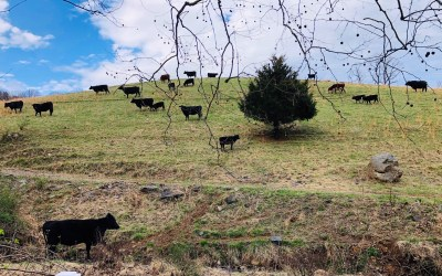 In Our Own Words: Cows on a Hill