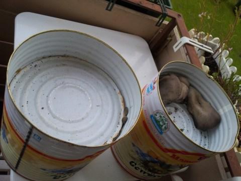 Austernpilze in Blechdosen