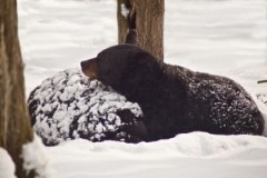 Black-bear-winter-sleep_-_West_Virginia_-_ForestWander