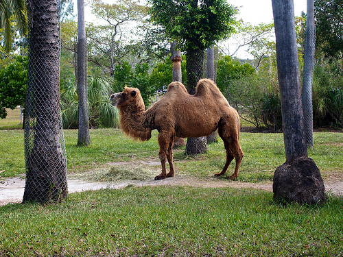 This Bactrian camel lives in the Miami zoo. Only 800 live in the wild still.