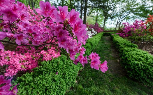 The Azalea Garden at National Arboretum