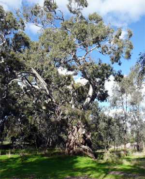 Big tree on the Loddon