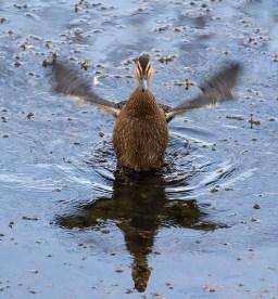 Pacific Black Duck, Loddon River @ Newstead, 12th December 2015.
