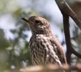 Rufous Whistler (juvenile).