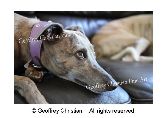dog, greyhound, animal, photography, geoffrey christian