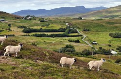 Sheep and the road to Portree