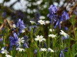 Stitchwort and bluebells
