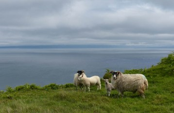 Cliff-top sheep