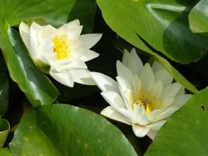 Brockhampton waterlilies