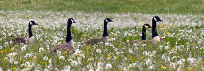 Canada geese in the field