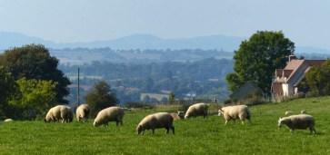 Sheep and border hills