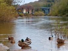 Ducks and distant bridge