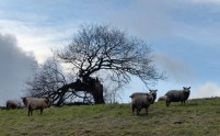Sheep and tree