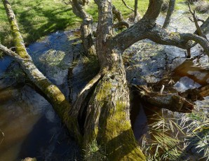 Tree in the pond