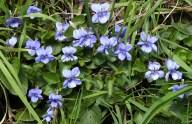Violets on the bank