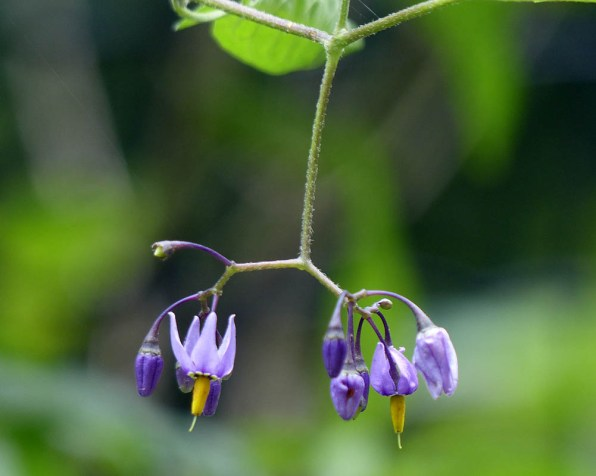 Woody nightshade