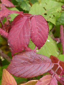 Red bramble leaves