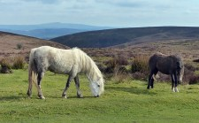 Ponies on the Mynd