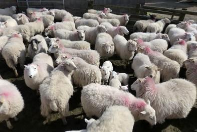 Sheep jam