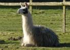 ... and llama
