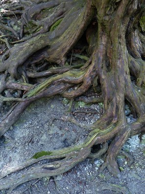 Roots (yew)