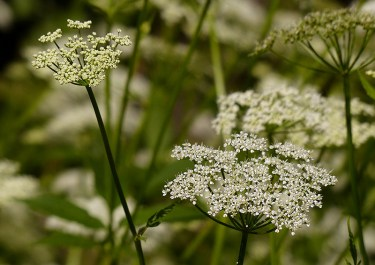 No shortage of umbellifers