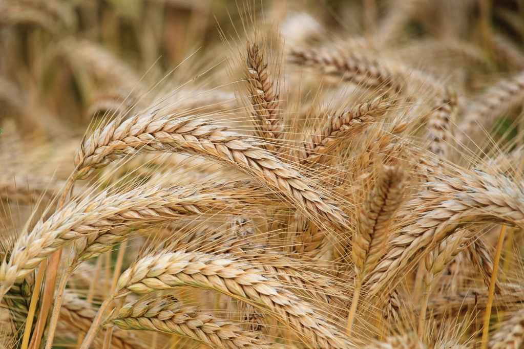 6 problems facing wheat farming in Canada