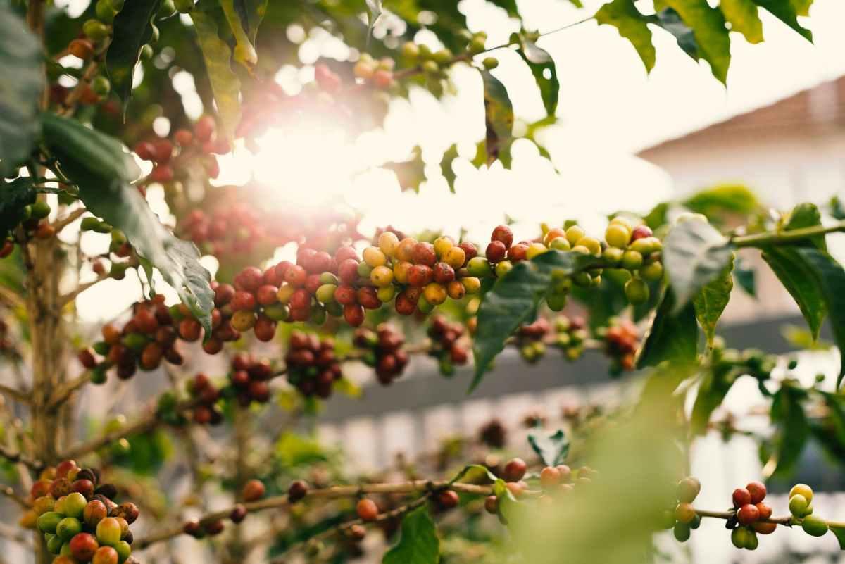 7 problems facing coffee farming in Kenya
