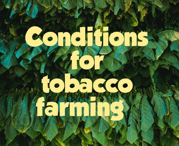 Conditions for tobacco farming