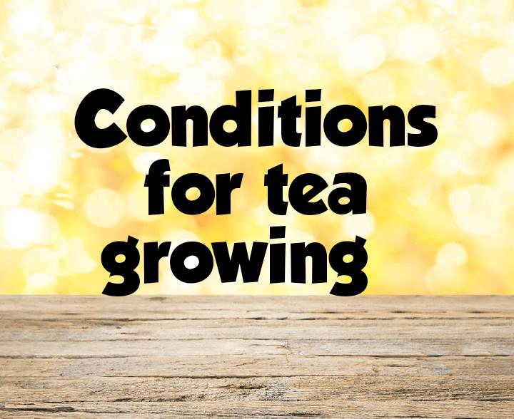 Conditions for tea farming