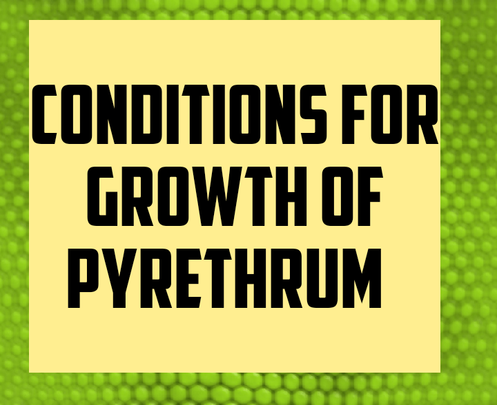 Conditions for growth of pyrethrum