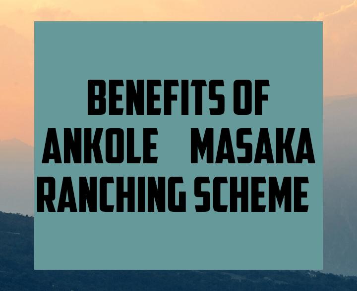 Benefits of ankole masaka ranching scheme