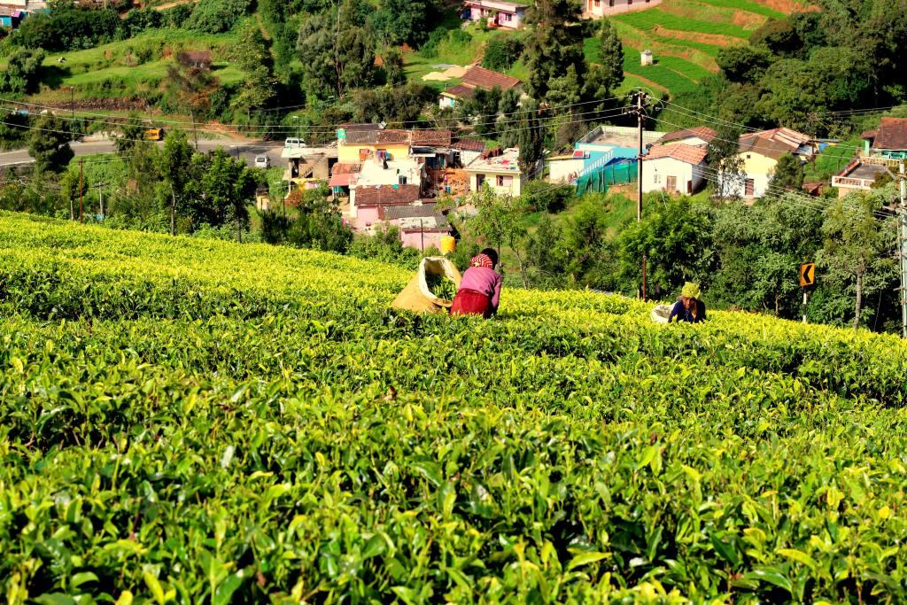 Significance of Tea Farming in Kenya