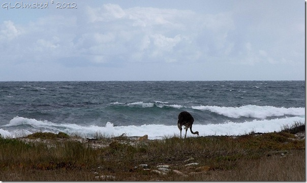 03a Ostrich by Atlantic Ocean M65 S Table Mt NP Cape Pennisula AZ (1024x610)