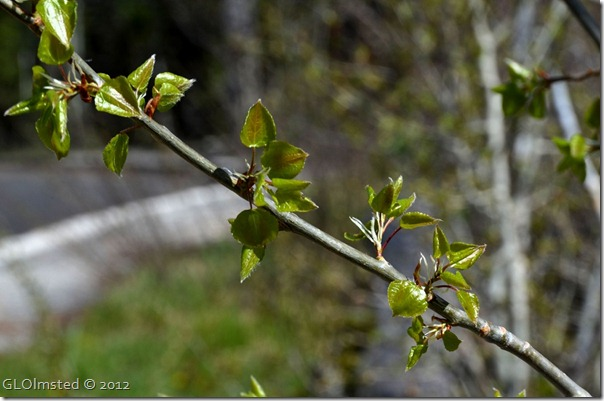 01e Young aspen leaves Walhalla Plateau NR GRCA NP AZ (1024x678)