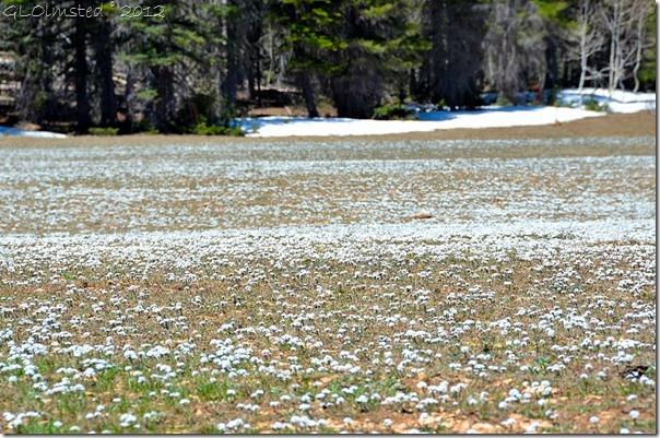 03 Flowers on the meadows Kaibab NF AZ (1024x678)