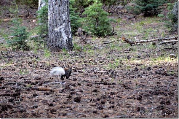 03e Kaibab squirrel NR GRCA NP AZ (1024x678)