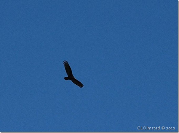 07e Turkey vulture soars over Pt Imperial NR GRCA NP AZ (676x504)