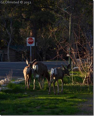 11 Mule deer NR GRCA NP A (828x1024)