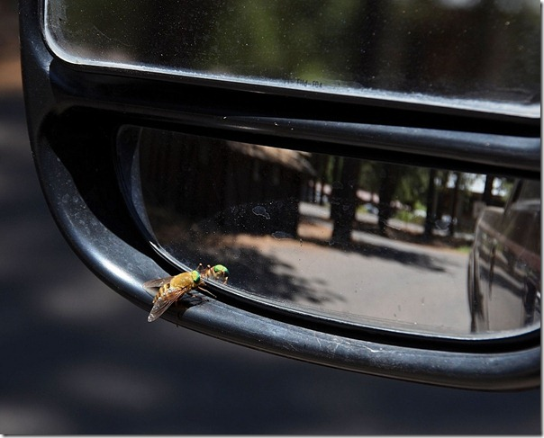 01e Maybe Bee Fly on side mirror NR GRCA NP AZ (1024x824)