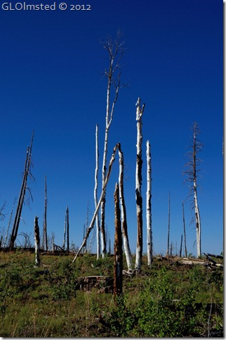 04 Dead trees in the 2006 Warm Fire SR67 Kaibab NF AZ (678x1024)