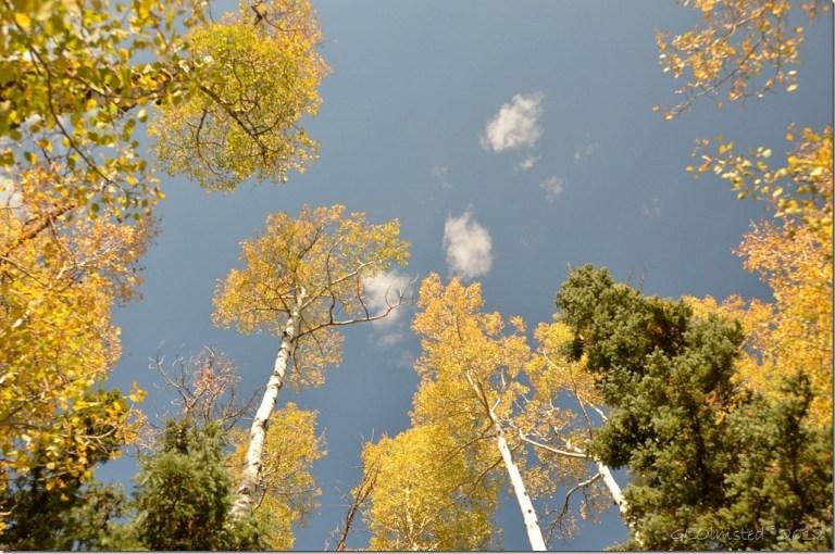 01 Looking up at golden aspen & green pines Kaibab NF AZ (1024x678)