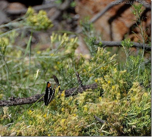 03 Arizona Sister butterfly Walhalla Plateau NR GRCA NP AZ (1024x922)