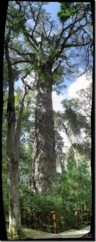 The Big Tree Yellow-wood Tsitsikamma National Park Eastern Cape South Africa
