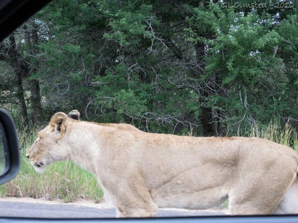 Lioness Kruger NP