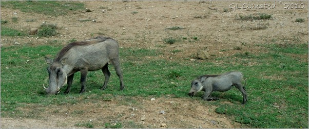 Warthogs Addo Elephant NP