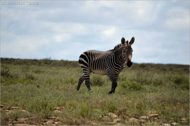Mountain Zebra Mountain Zebra National Park South Africa