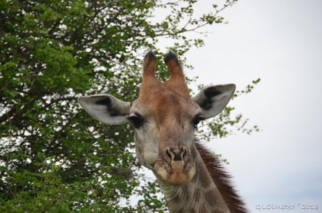 Giraffe Kruger NP SA